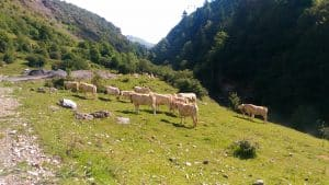 Jakobsweg Kühe Pyrenäen